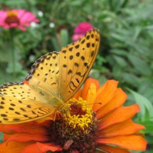 百日草にヒョウモンの蝶