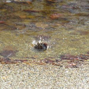 スズメの水浴び