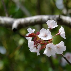 ご近所さんの桜の花