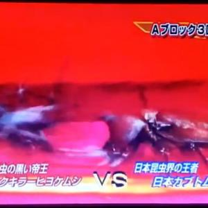 虫皇帝 ブラックキラーヒヨケムシVS日本カブトムシ