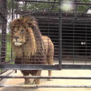 怒ったライオンがおしっこを飛ばすwwwwwww