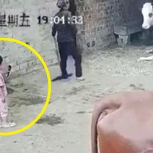 【衝撃映像】この幼女、「出産後の牛」を絶対に見に行っちゃいけなかった…