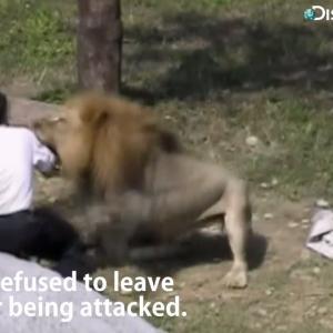 なぜか強気の男性がライオンの檻に入って挑発しまくるwww