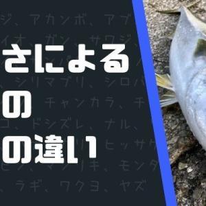 出世魚「ブリ」の名前の順番!地域別の呼び方や大きさの定義も!
