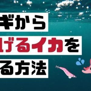 【エギング】イカが逃げるときの必殺技!あえて逃がして警戒心を解け!