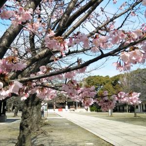 大阪護国神社の梅!