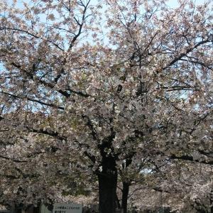 桜が満開ですね!
