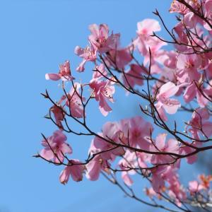 花の山:アカヤシオ咲く泣虫山