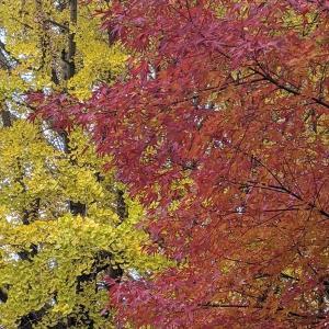 宇都宮ブレックスアリーナの隣は銀杏の紅葉