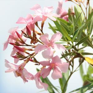 初夏の花:キョウチクトウ3種