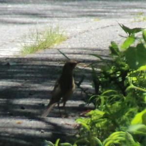 奥日光で出会った鳥