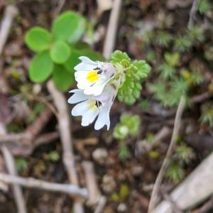 コゴメグサは素敵な花です