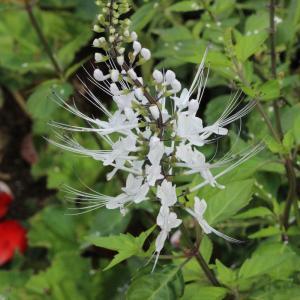 華麗に咲くネコノヒゲとセイヨウフウチョウソウ