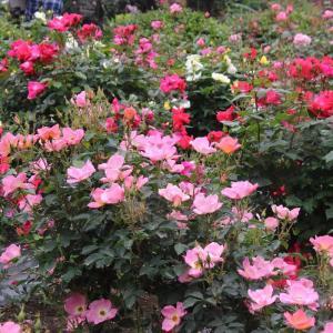 井頭公園の薔薇満開