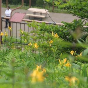 ニッコウキスゲ開花です2021