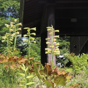 尾瀬を彩る花⓶