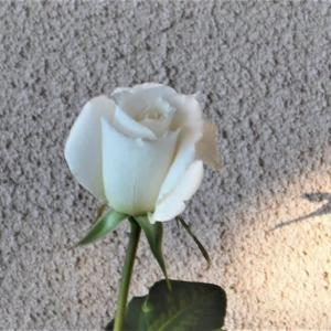 「薔薇」パスカリ