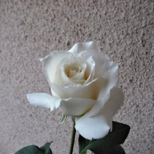 「薔薇」パスカリno.3