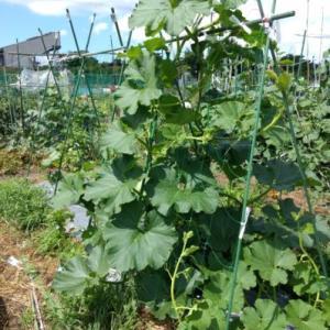 栗カボチャのネット栽培!ウリ科野菜はシルバーマルチ必須か?