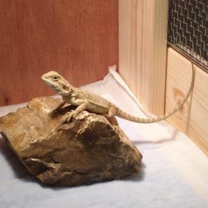 フトアゴヒゲトカゲ飼育のはじめ方 ~1人暮らしの爬虫類女子編 ~