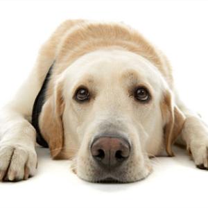 ラブラドールが下痢や便臭がきつい原因とは?