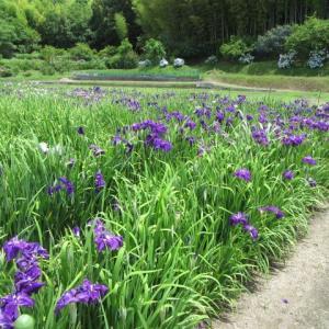 玉野市山田の菖蒲・紫陽花・蓮