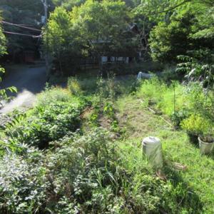 蒜山の畑は雑草に埋もれてます