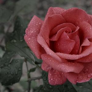 2019~2020年|使用した薔薇ブローチ(ポケットチーフ)のカラー