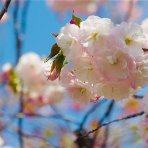 大阪造幣局桜の通り抜け、すごい!