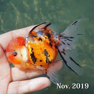 当歳から2歳にかけて金魚はグッと成長します。