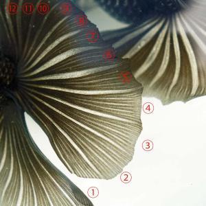 蝶尾の尾びれに注目してみた!