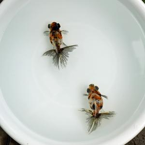 残し決定のキャリコ蝶尾