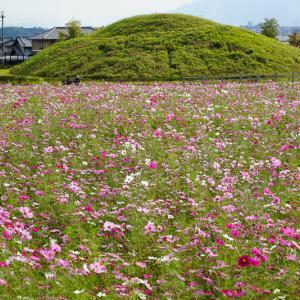 【2019年版】奈良のコスモス名所「藤ノ木古墳」|見頃やアクセスを紹介!