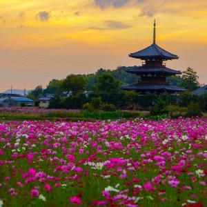 【2019年版】奈良のコスモス名所「法起寺」|見頃や開花情報、アクセスなどを紹介!