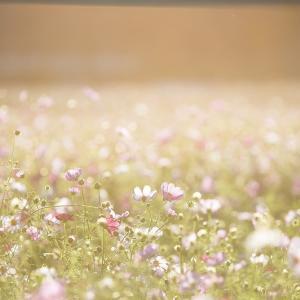 【2019年版】兵庫県のコスモス園「武庫川 髭の渡しコスモス園」|見頃やアクセスなどを紹介!