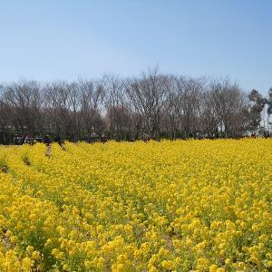 【2020年】大阪の菜の花畑「和泉リサイクル環境公園」|見頃やアクセスなどを紹介