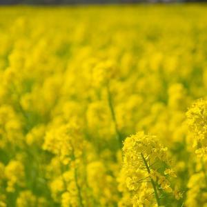 【2020年】大阪の菜の花畑「堺・緑のミュージアム ハーベストの丘」|見頃やアクセスなどを紹介