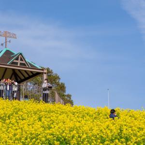 【2020年】兵庫のおすすめ菜の花畑「神戸総合運動公園」|見頃やアクセスを紹介
