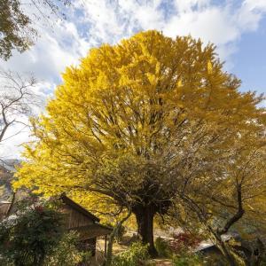 福定の大銀杏 宝泉寺の境内にそびえ立つ天然記念物の紅葉を見に行こう