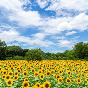 【旅行記】大阪市立長居植物園のひまわりウィークに行ってきた