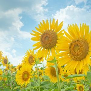 【2019年版】兵庫県のひまわり畑「ひまわり柚遊農園」 見頃・開花情報、アクセスなどを紹介