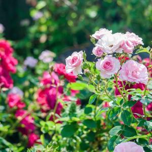【2019年】関西でおすすめの秋の薔薇(バラ)園10選|見頃・開花情報、アクセスを紹介!