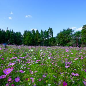 【2019年版】大阪のコスモス園「とよのコスモスの里」|見頃、開花情報、アクセスなどを紹介!