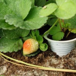 イチゴ苗生産は順調