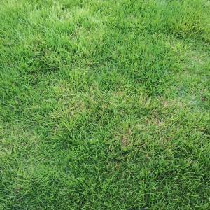 芝生の変色