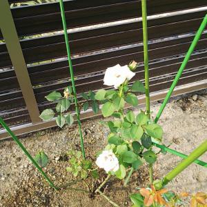 お庭の夏の花たち