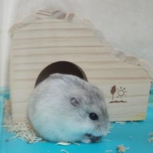 【ペット】我が家にやってきたジャンガリアンハムスター、ケージはルーミィ、かわいい