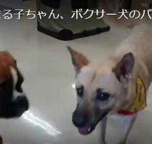 【動画アリ】まる子、ボクサー犬のパピーちゃんとご挨拶