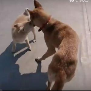 【動画】まる子、サンちゃんと遊んでます。YOUTUBEにUpしました。