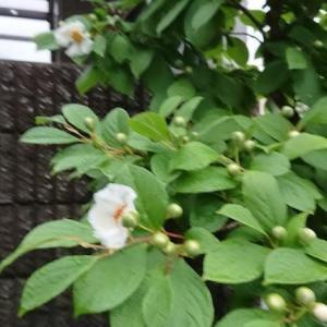 ハナミズキの花が咲きだしました。